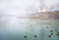Foggy river and wild ducks