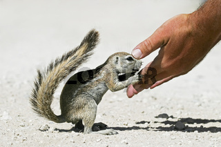 Afrikanisches Borstenhoernchen (Xerus rutilus) schaut in eine Hand, Etosha-Nationalpark, Namibia, Afrika, African ground squirrel, Etosha NP, Africa