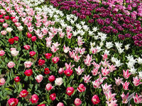 tulip flower field , red, pink and white tulip flowers