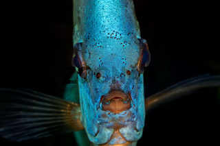Portrait of blue head of discus fish