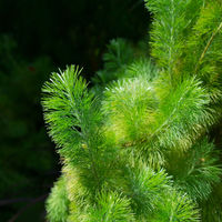 Green branches covered in short fluffy hairs