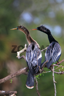Male and female Anhingas sitting on a tree