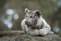 lying on rocks, resting, watching around... white Royal Bengal Tiger *Panthera tigris*