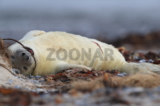 Grey Seal (Halichoerus grypus) Pup Helgoland Germany