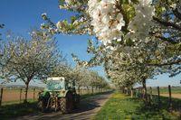 Kirschblueten und vorbeifahrender Traktor