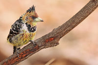 crested barbet, South Africa, Trachyphonus vaillantii