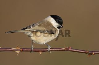 ein Standvogel... Sumpfmeise * Poecile palustris *