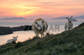 Sheep and two lambs at Scottlands coast in the sunset