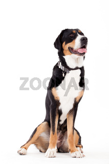 Appenzeller sennenhond sitting with tonque