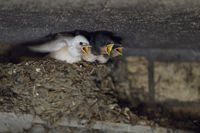begging for food... white Barn Swallow *Hirundo rustica*