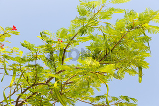 delonix regia or flame tree outdoors