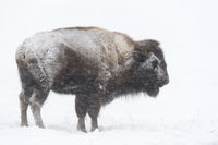 in the blizzard... American Bison *Bison bison*