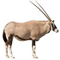 Oryx Gazella (Gemsbok) looking straight