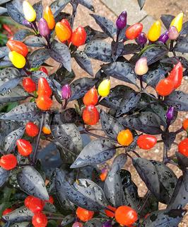 Topfchili, Chili, Lila Luzi F1, Kraeuter, Heilpflanze
