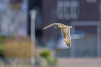 Short Eared Owl flying in city, Asio flammeus, Sumpfohreule