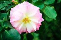 Rosa canina or dog rose fresh pink flower