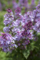 Common lilac (Syringa vulgaris hybrids)