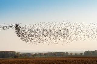 Vogelschwarm Stare im Flug über den Feldern