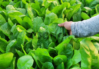 Fresh and organic spinach