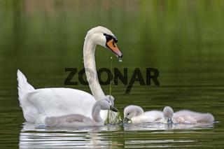 Höckerschwan mit Küken, (Cygnus olor), Schleswig-Holstein, Deutschland