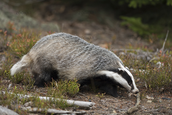 with its nose on the ground... European Badger * Meles meles*