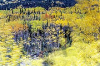Zitterpappeln im Herbst an einem stuermischen Tag / Denali Nationalpark  -  Alaska