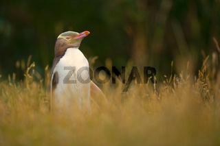 gelbaugenpinguin, megadyptes antipodes, neuseeland, suedinsel, otago, yellow-eyed penguin, new zealand, south island, otago