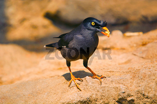 Myna or Mynah is a bird of the starling family , Sturnidae