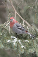 in a conifer... Pine Grosbeak *Pinicola enucleator*