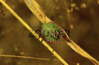 Southern green stink bug near Sangli