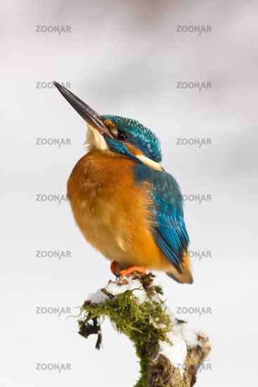Kingfisher in winter