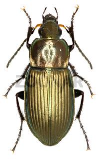 Ground Beetle Poecilus on white Background  - Poecilus cupreus (Linnaeus, 1758)