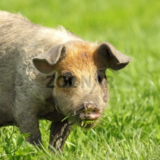 cute dirty pig portrait