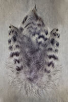 Group of gray spotted owl feathers close-up