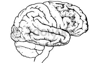 menschliches Hirn/ die Rindenfelder