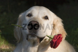 Golden Retriever mit roter Rose