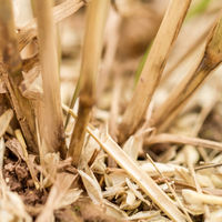Closeup of cornstalks