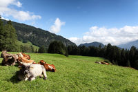 dairy cows on meadow