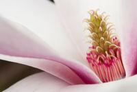 Closeup of a Magnolia