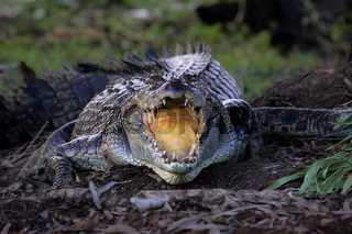 In front of an impressive Saltwater crocodile with open mouth,cooling down, Yellow Water, Kakadu Nat