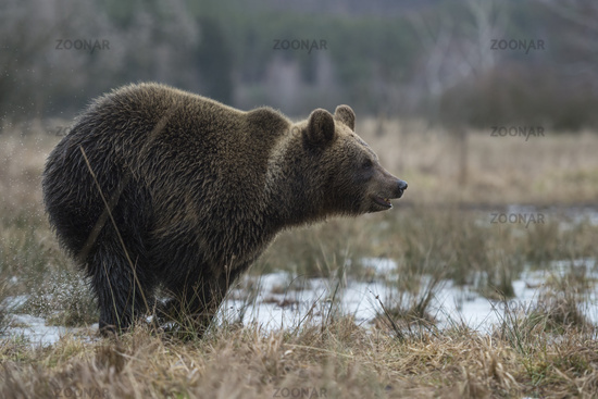 in a hurry... European Brown Bear *Ursus arctos* runs fast through a bog