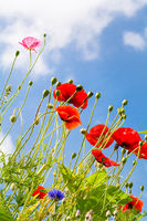 Red poppies are standing in the sky