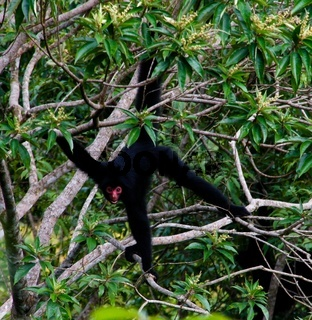 Spider monkey male swinging on the tree branch,Kanuku Mountains, Rupununi,Guyana