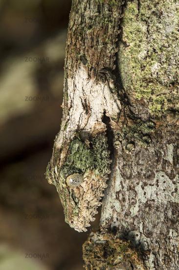 Camouflaged Mossy leaf-tailed gecko (Uroplatus sikorae), Andasibe National Park, Madagascar