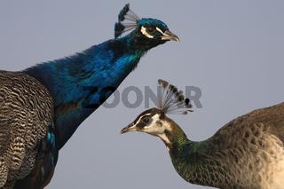 Blauer Pfau, Maennchen und Weibchen, Pavo cristatus, Indian Peacock, Common Peafowl, male and female