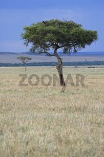 Masia Mara trees