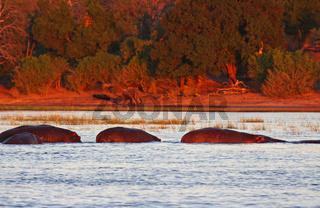 Hippos im roten Abendlicht im Chobe-Fluss, Botswana