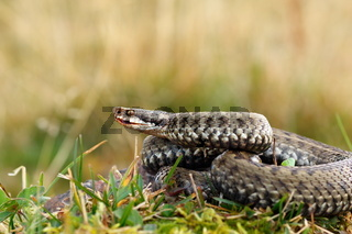 close up of female european crossed adder ( Vipera berus )