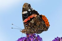 red admiral on a butterfly bush