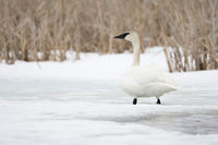 on an ice covered river... Trumpeter Swan *Cygnus buccinator*